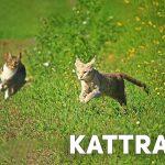 Kattraser